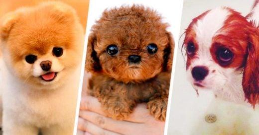 Los 25 cachorros miniatura más HERMOSOS del mundo ¡Los amarás!