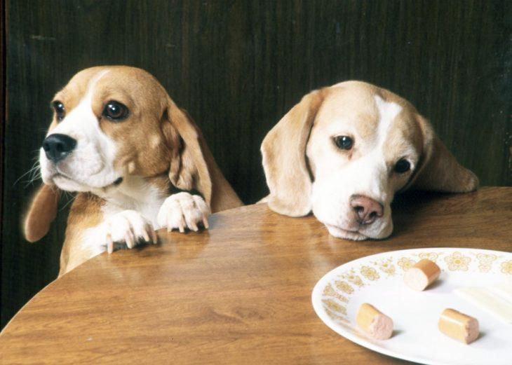 Perros beagle comiendo salchicha