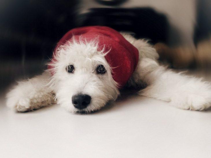 Perro color blanco enfermo
