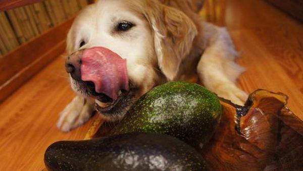 Perro comiendo aguacate