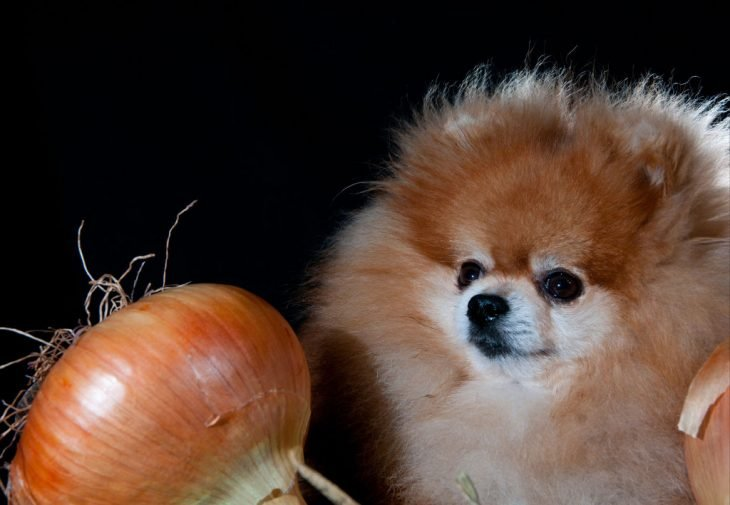 Perro pomeranian con cebolla