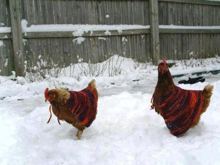Gallinas en la nieve con suéter