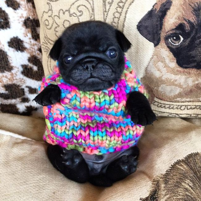 Cachorro pug negro con suéter
