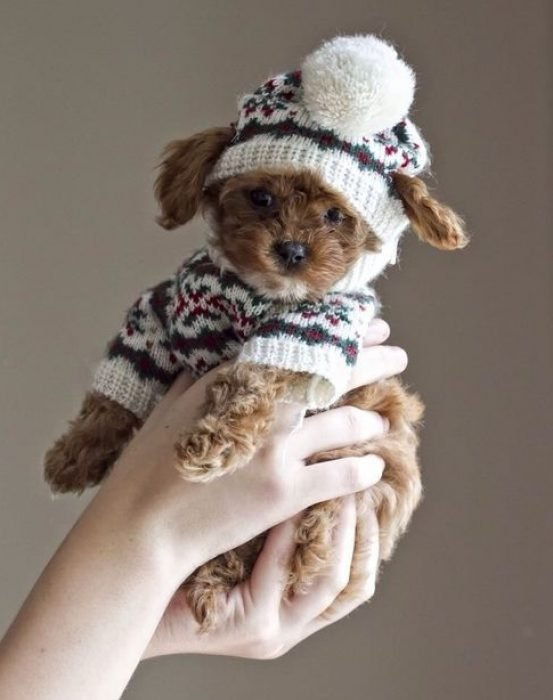 Perrito café con gorro y suéter