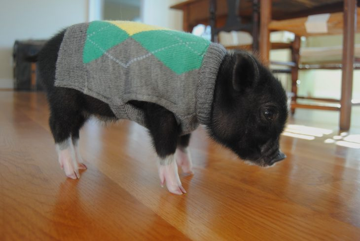 minipig negro con suéter