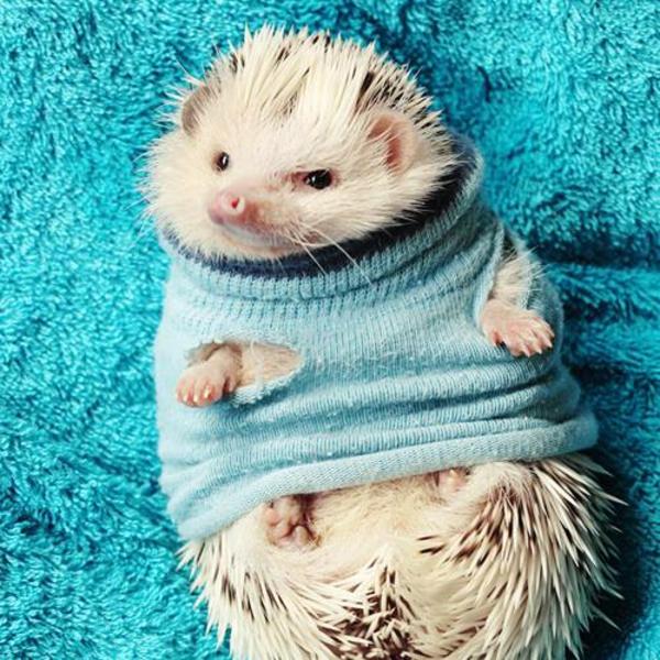 Puerco espín con suéter azul