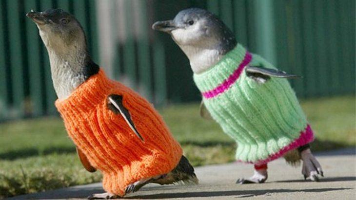 Pingüinos con suéter