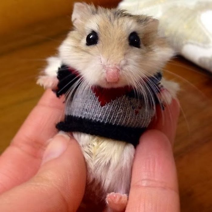 Hamster con suéter