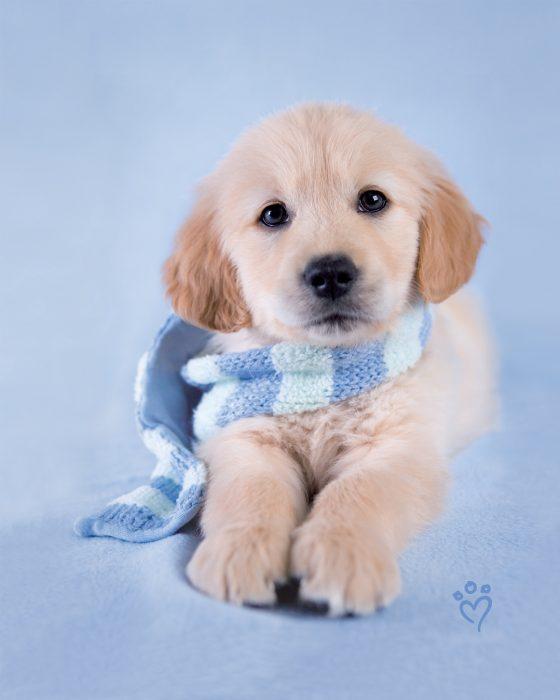 Perro golden cachorro con bufanda azul
