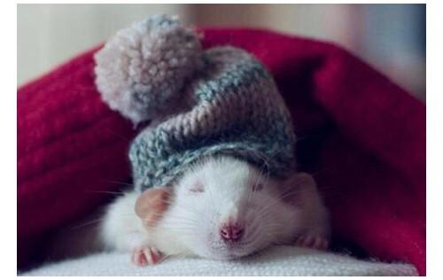 Hamster blanco con un gorro gris y cobijado