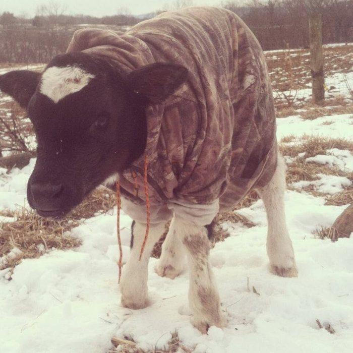 Vaca en la nieve con suéter