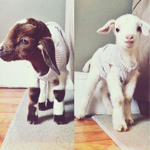 borregos con suéter