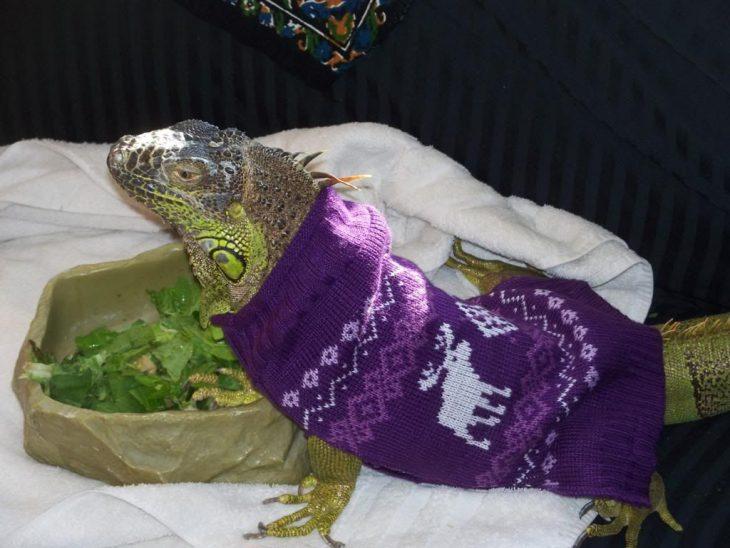 Iguana con suéter