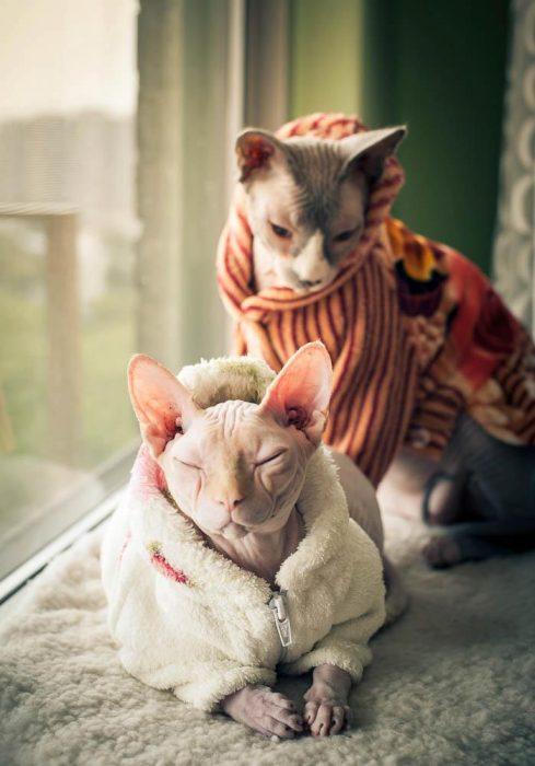 Gatos esfinge con suéter