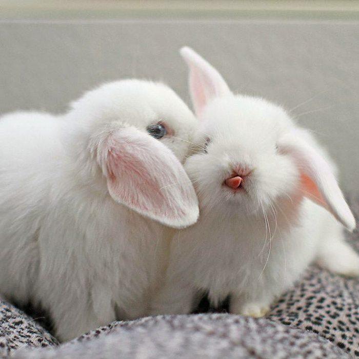 Conejitos blancos, sacando la lengua