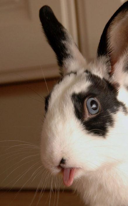 Conejo con manchas negras y lengua fuera