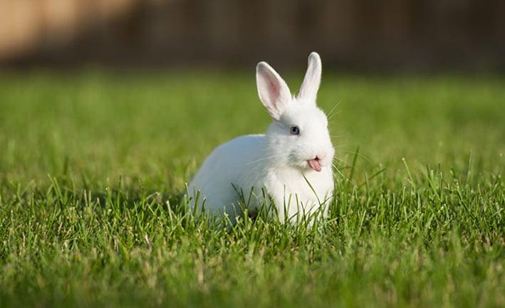 Conejo blanco en un pasto verde con la lengua de fuera