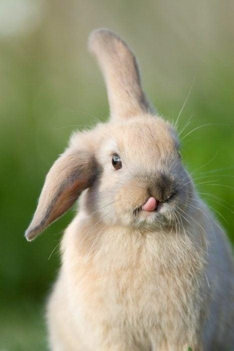 conejito levantando una oreja y lengua de fuera