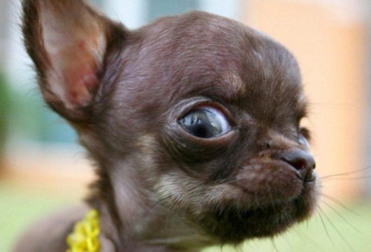 perro chihuahueño con cara de miedo