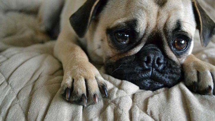 Pug con cara de tristeza