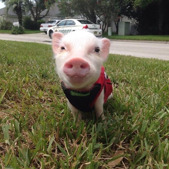 Mini pig rosa en el pasto