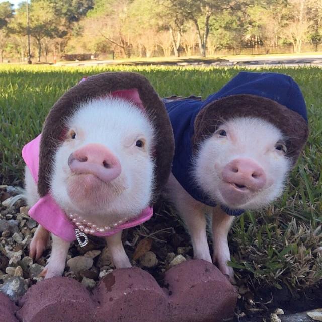 Mini pigs rosados con abrigos de invierno