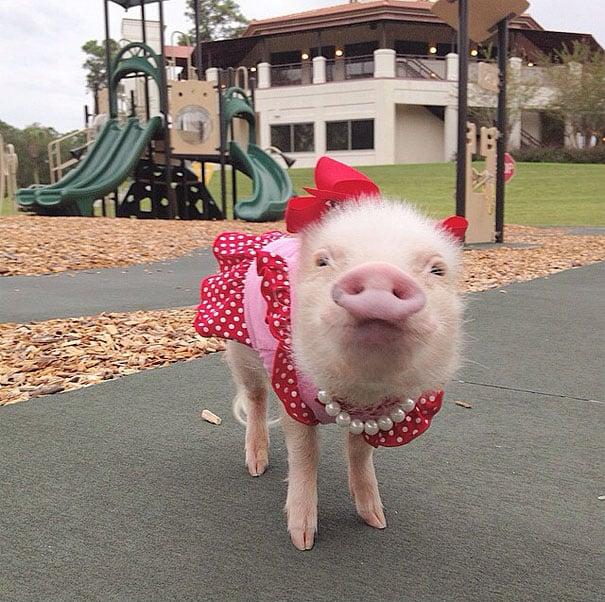 Mini pig rosa con vestido rojo en un parque de juegos