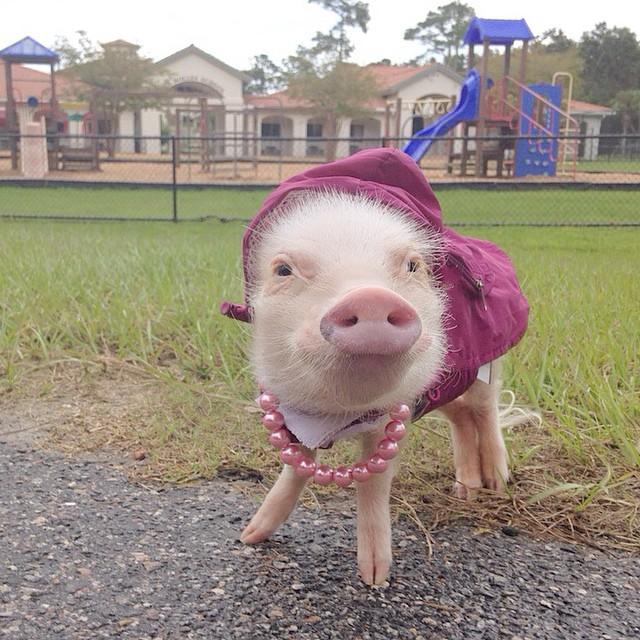 Mini pig rosa en un parque