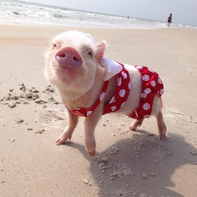 Mini pig rosa con traje de baño en la playa
