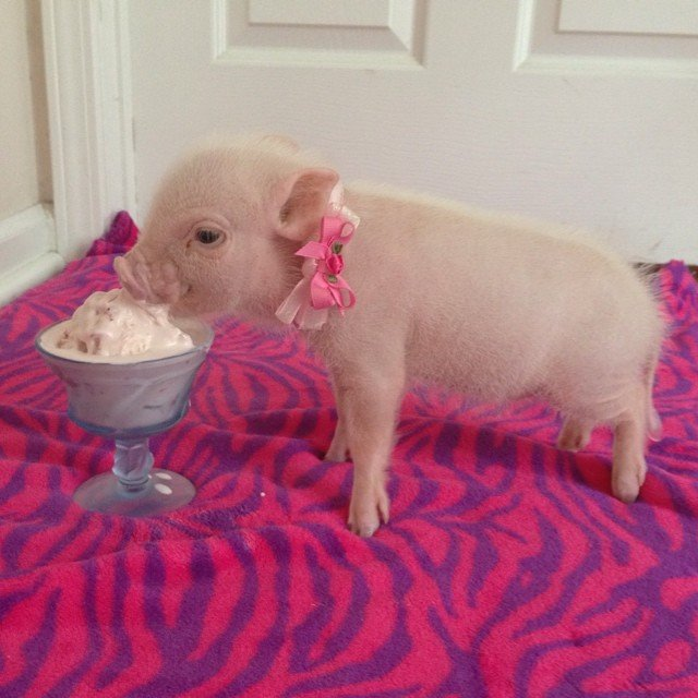 Mini pig rosa comiendo helado