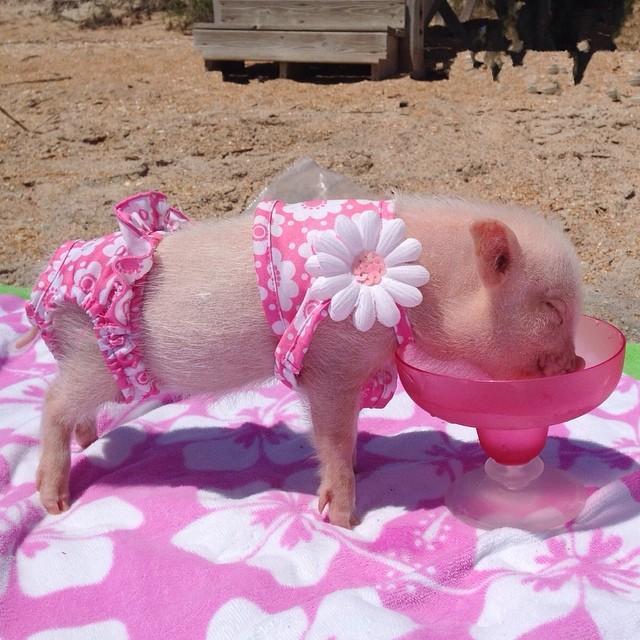 Mini pig rosa con traje de baño tomando agua en la playa