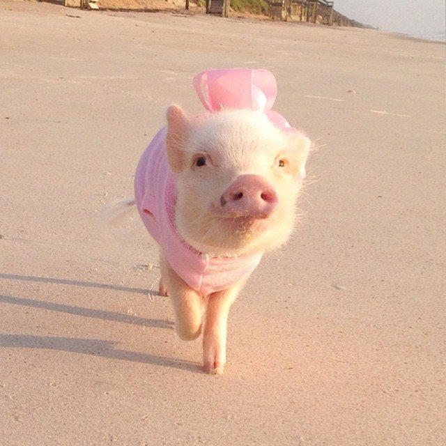 Mini pig rosa con vestido y moño rosa caminando en la playa