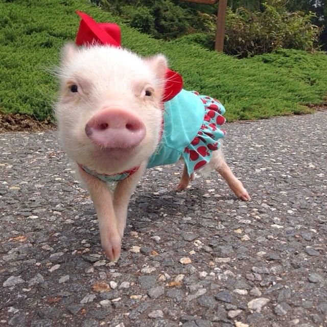 Mini pig rosa con vestido azul y moño rojo