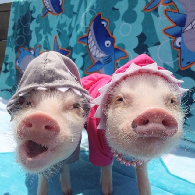 Mini pigs rosados con sombreros