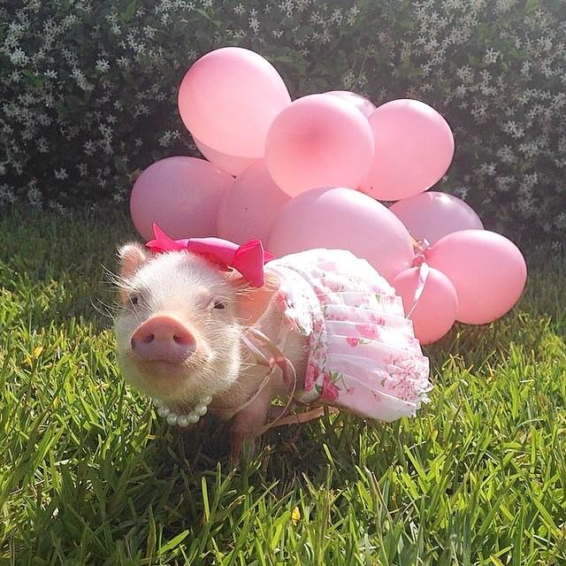 Mini pig rosa con globos