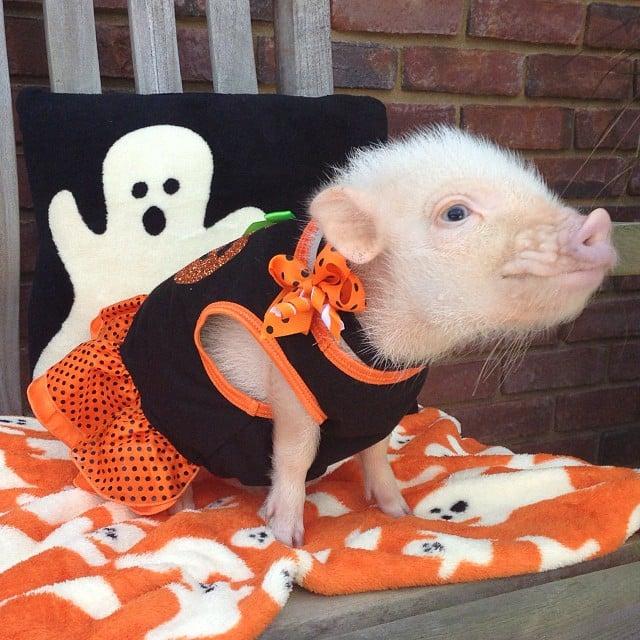 Mini pig rosa con vestido de halloween