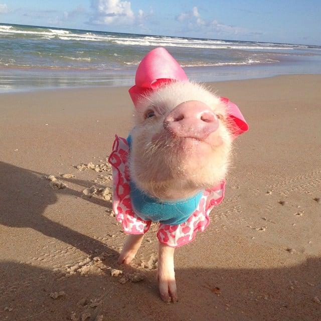 Mini pig rosa en la playa