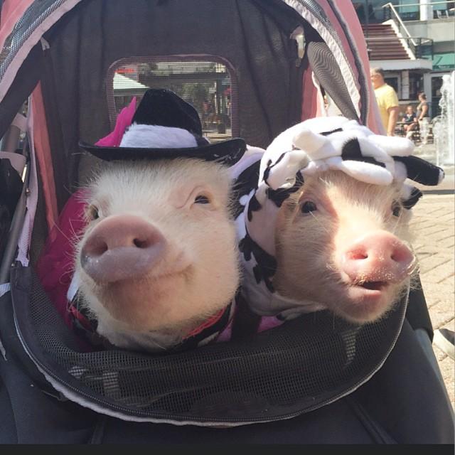 Mini pigs rosado con sombrero vaquero y vaca