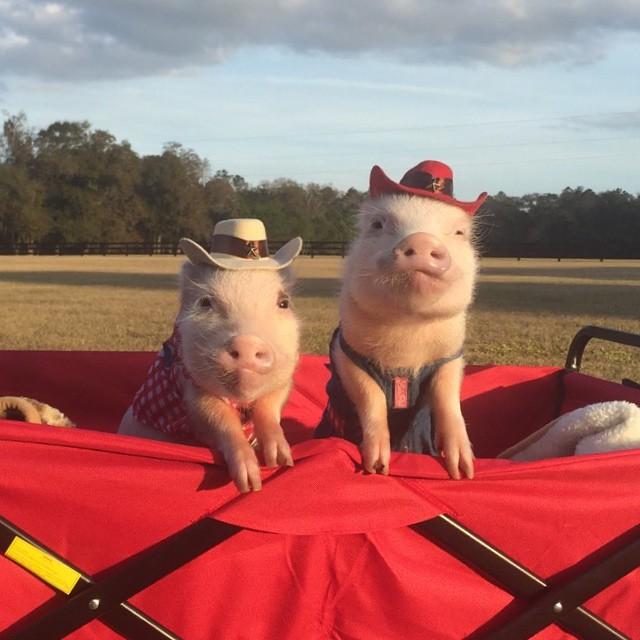 Mini pigs rosados vestidos de granjeros