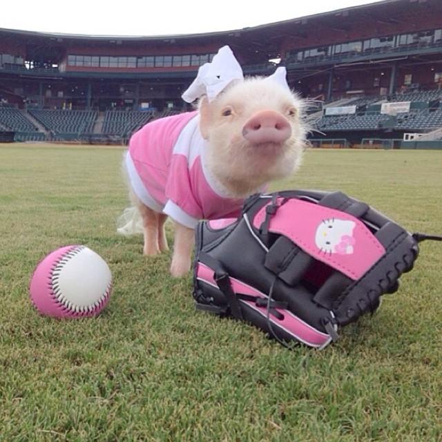 Mini pig rosa jugando beisbol