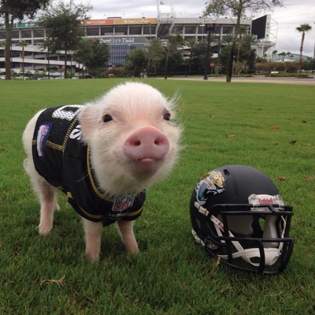 Mini pig rosa vestido de fútbol americano