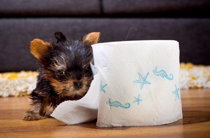 El yorkshire más pequeño junto a un rollo de papel de baño