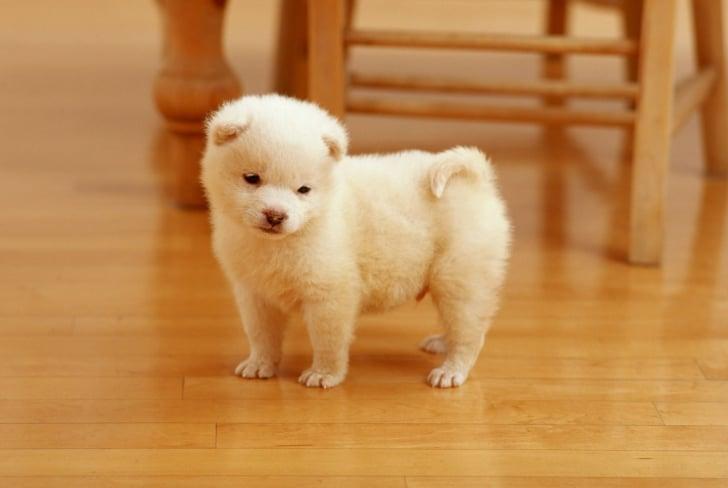 perrito color blanco en piso de madera