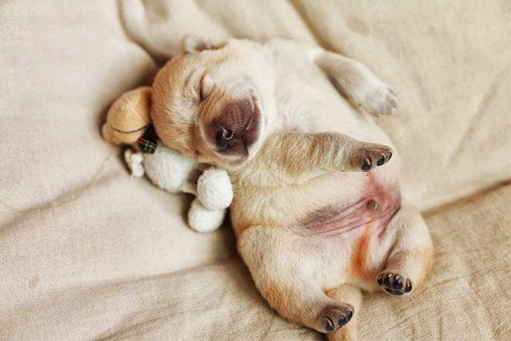 Un cachorro con su peluche