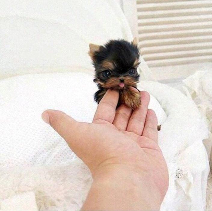 El yorkshire más pequeño