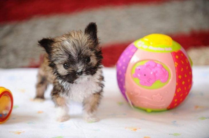 perrito más pequeño que una pelota