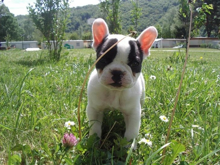 El bulldog francés más pequeño del mundo