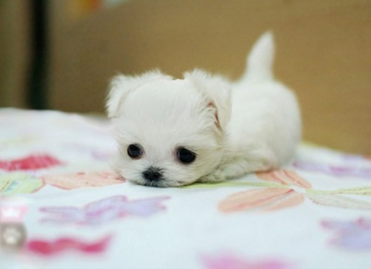 Los 25 cachorros miniatura