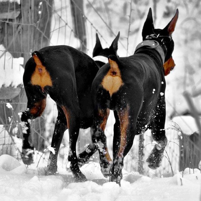 Perros sin cola