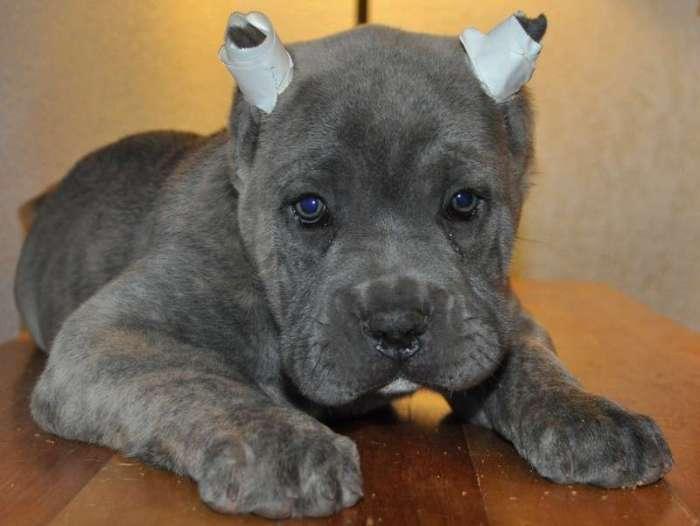 Perrito con curita en orejas